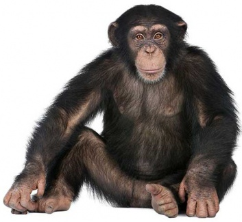 Chimpancé redactor