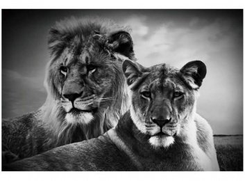 Lienzo fotoimpreso con leones